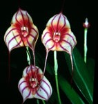 masdevallia-dragonlair