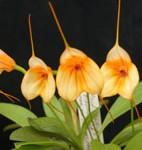 masdevallia-lemonripple