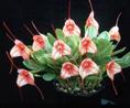 Masdevallia seedlings