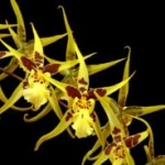 oncidium-goldengambol