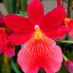 oncidium-nellyislerred