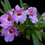 oncidium-pansyorchid