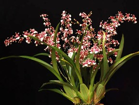 Oncidium Alliance Heaven Scent Redolence on types of orchids