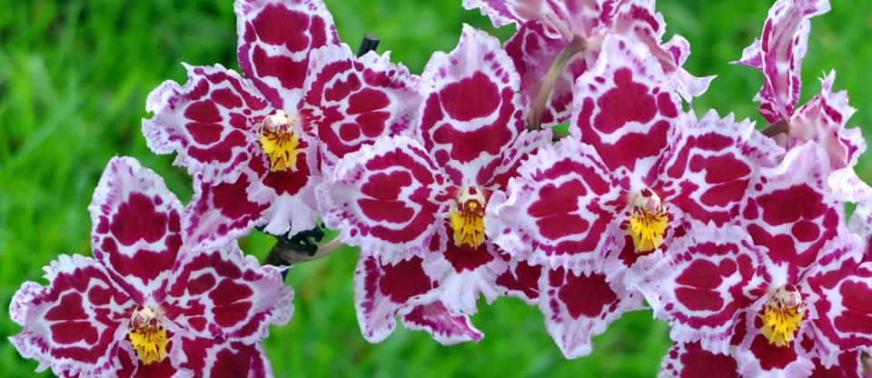 Oncidium Alliance seedlings