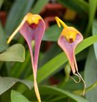 masdevallia-maculata